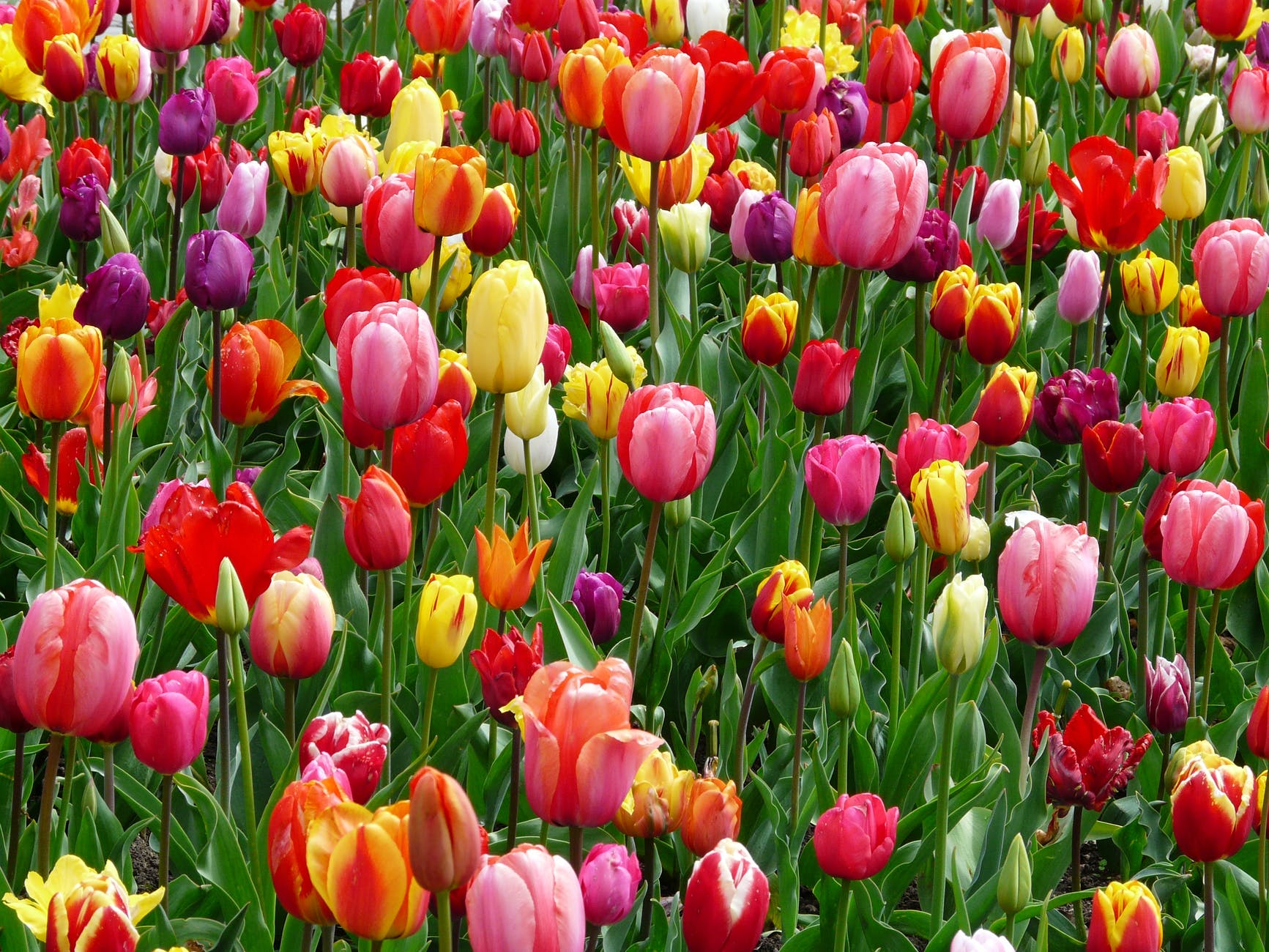 red purple and yellow tulip fields