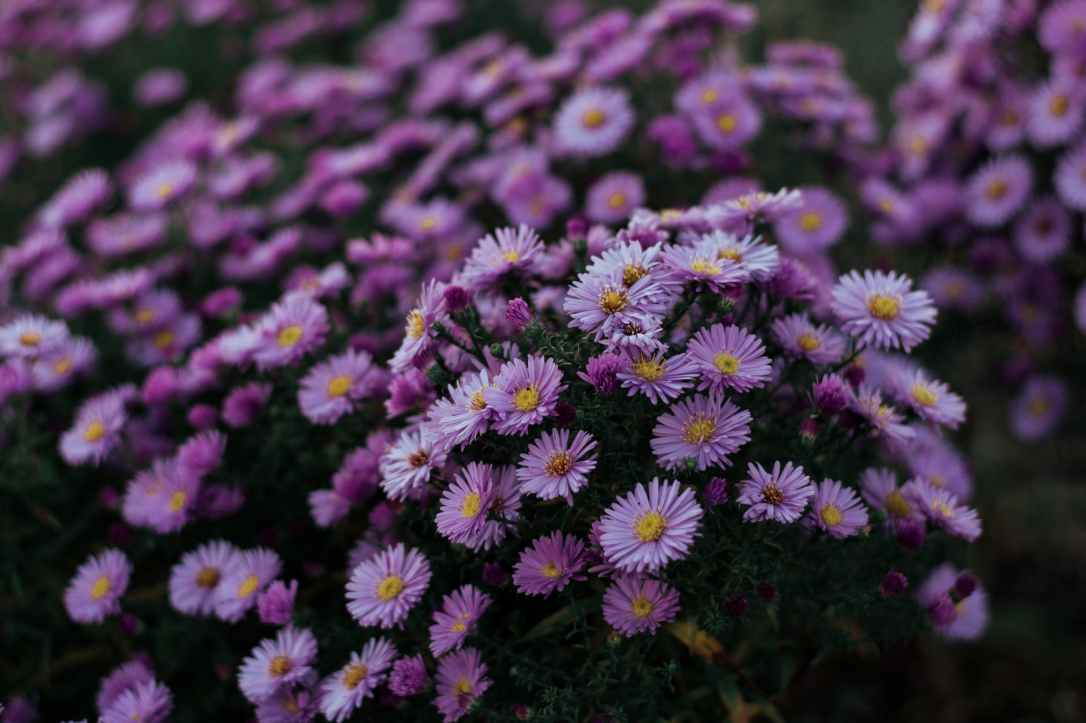 close up photo of purple aster flowers