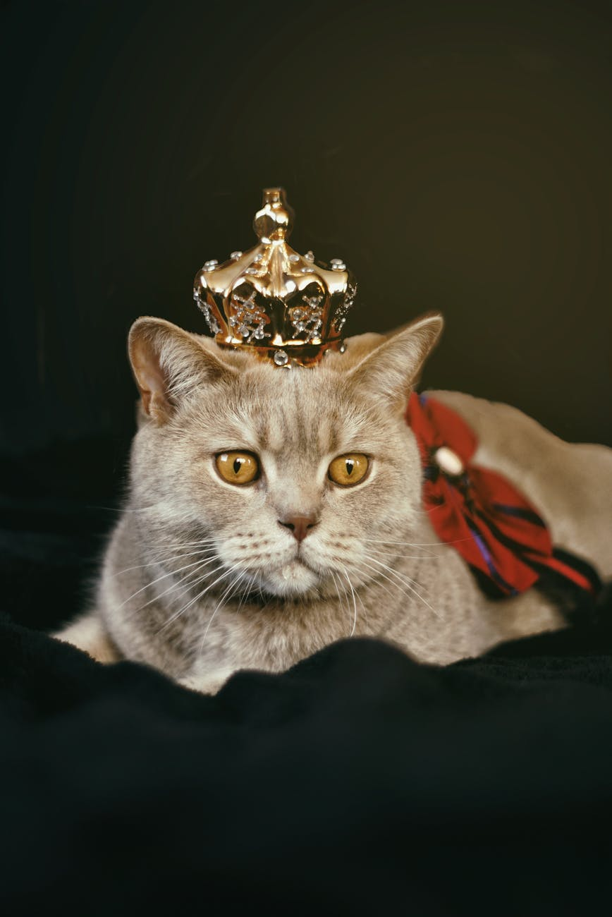 beige cat with gold colored crown