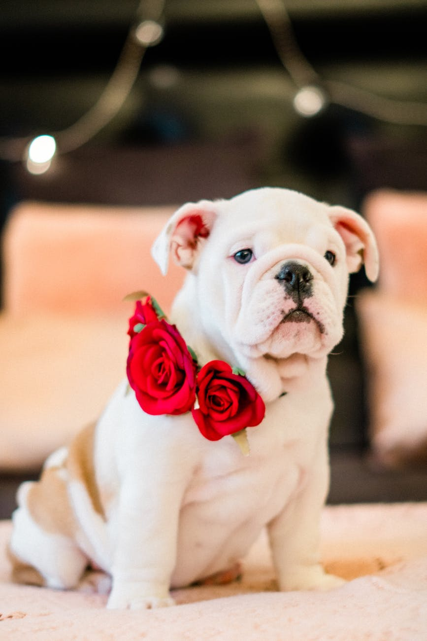 photo of bulldog with roses