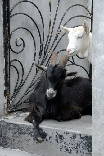 Photo by Janine Joles on Unsplash Goats