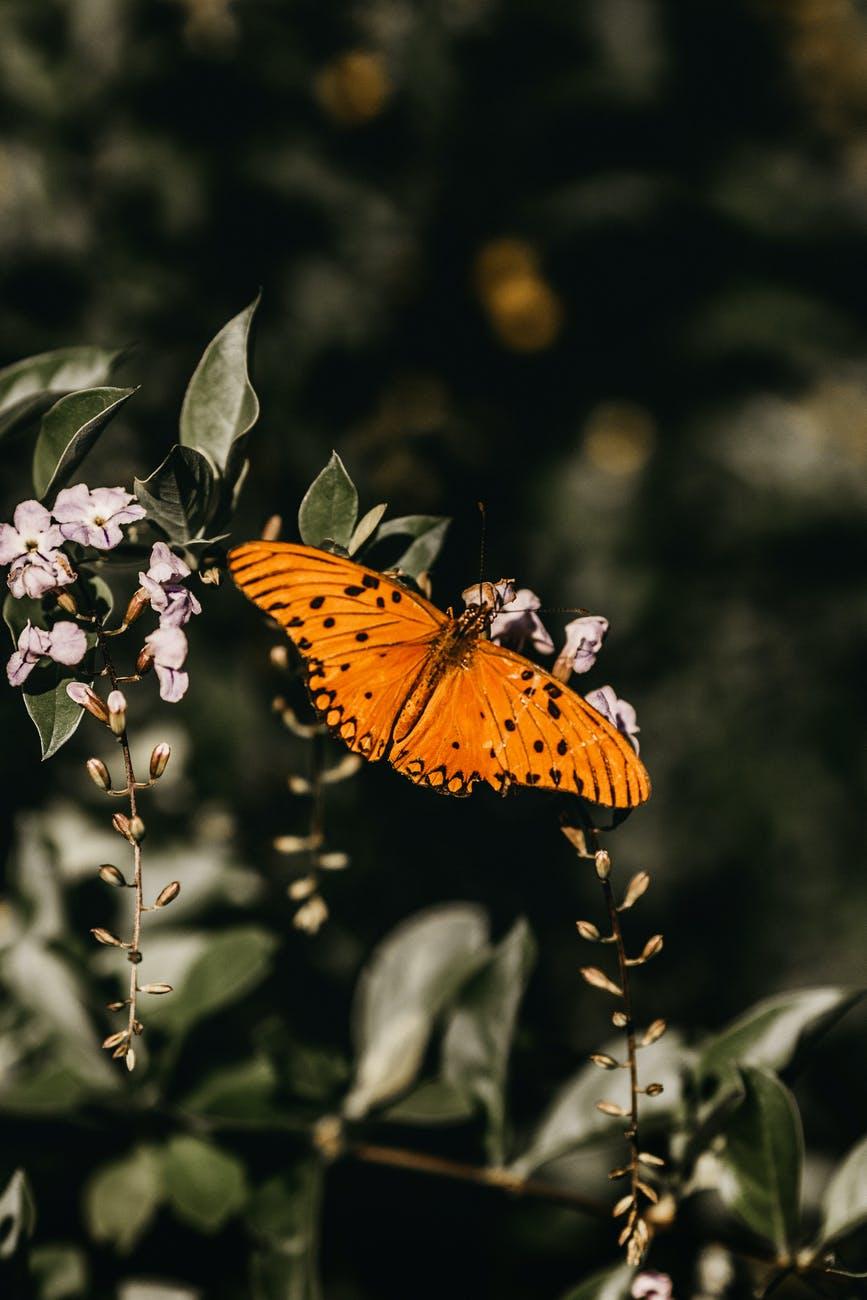 gulf fritillary butterfly perching on flower